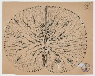 8_Cajal_GlialCellsOfTheMouse_1899